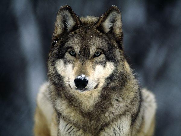 Jacob Black Werewolf Jacob Black is a Werewolf